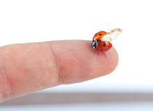 Macro of a ladybug sitting on finger Royalty Free Stock Images