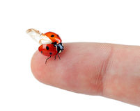 Macro of a ladybug sitting on finger Royalty Free Stock Photo