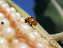 Macro ladybug. Macro very close view of the ladybug Royalty Free Stock Photography