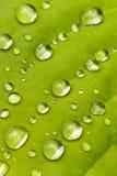 Macro lame de hosta avec des gouttes de pluie Images libres de droits