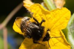 Macro lanuda de la abeja del abejorro Fotos de archivo libres de regalías