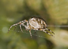 Macro of large spider on cobweb Stock Photos