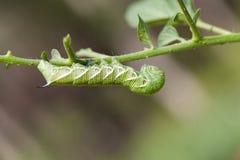 Macro lateral de un gusano del claxon de Tomatoe Foto de archivo