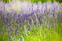 Macro lavender flowers in the field Stock Image
