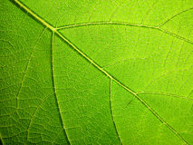 Macro leaf. Leaf with backlight Royalty Free Stock Photography