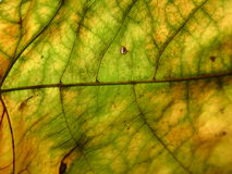 Macro of leaf Royalty Free Stock Photography