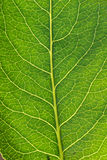 Macro leaf Royalty Free Stock Photos