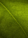 Macro Leaf. You can see the veins on the leaf Stock Photos