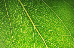 Macro leaf. Detailed green leaf with backlight royalty free stock image