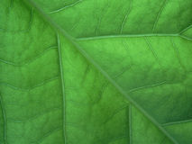 Macro leaf. Close-up of a green leaf Royalty Free Stock Photography