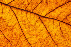 Macro of leaf. Royalty Free Stock Images