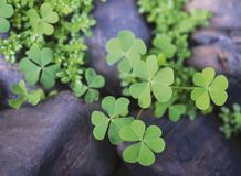 Macro leaf clover in the garden royalty free stock photo