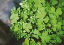 Macro leaf clover in the garden royalty free stock photos