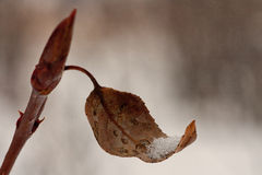 Macro of Leaf Cupping Snow. Macro of a curved autumn leaf holding snow Royalty Free Stock Photography