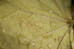 Macro leaf with drops. A close up of a yellow leaf with water droplets Stock Photo
