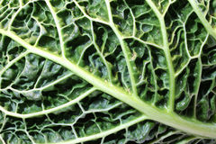 Macro leaf of green cabbage Royalty Free Stock Image