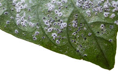 Macro of leaf with insect pest. Insects harming a green leaf isolated on white background. Royalty Free Stock Images