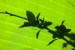 Shadow of leaves on a banana leaf. Macro leaf macrophotography nature green lines texture textured pattern banana lush lit eco environment copy space dew drop stock image