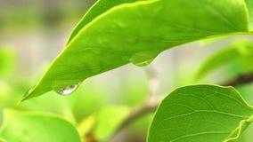 Macro leaf and raindrop stock video footage