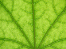 Macro leaf texture. Close-up texture of a maple leaf with details of the veins Royalty Free Stock Photography