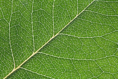 Macro leaf texture background. Macro shot of backlit leaf showing veins and cell areas Royalty Free Stock Photo