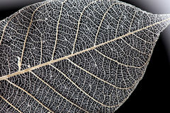Macro leaf texture on black background Royalty Free Stock Image
