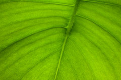Macro Leaf veins. Close up Macro shoot of a leaf with its veins Royalty Free Stock Image