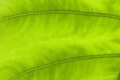 Macro Leaf veins Stock Photography
