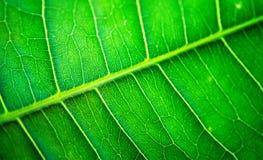 Macro of leaf-veins. Macro of green leaf-veins stock photos