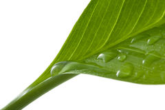 Macro of leaf with water drops. Isolated Stock Image