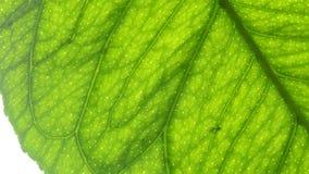 Macro of a lemon leaf Royalty Free Stock Photo