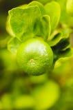 Macro of lemon on th  lemon tree in garden Royalty Free Stock Images