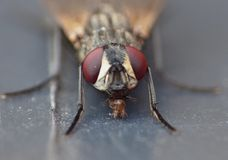Macro close up detail shot of a common house fly with big red eyes taken in the UK. Macro lens close up detail shot of a common house fly with big red eyes taken royalty free stock image
