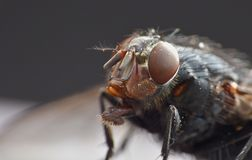 Macro lens close up detail shot of a common house fly with big red eyes taken in the UK. Macro close up detail shot of a common house fly with big red eyes taken royalty free stock photos