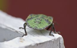Macro close up of a green shield bug / Stink bug, photo taken in the UK stock photo