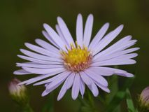 Macro close up shot of Bluish Aster found on the canal, taken in the UK stock photo