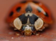 Macro close up shot of a ladybird / ladybug in the garden, photo taken in the UK. Macro lens close up shot of a ladybird / ladybug in the garden, photo taken in stock photography