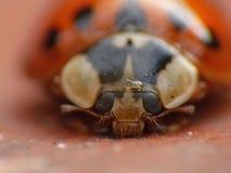 Macro close up shot of a ladybird / ladybug in the garden, photo taken in the UK. Macro lens close up shot of a ladybird / ladybug in the garden, photo taken in stock photos