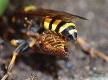 Macro close up of a wasp photo taken in the UK. Macro lens close up of a wasp photo taken in the UK stock photos