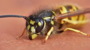 Macro close up of a wasp photo taken in the UK. Macro lens close up of a wasp photo taken in the UK stock photo