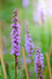 Macro of liatris flower Royalty Free Stock Images