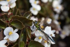 Macro libellula immagine stock