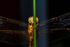 Macro, libellula, erba dell'albero, fondo nero immagine stock