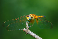 Macro libellula, libellula Fotografia Stock Libera da Diritti