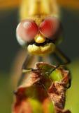 Macro libellule Photo stock