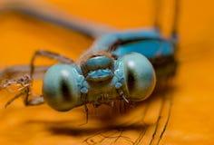 Macro libellule Photos stock