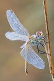 Macro libellule Photos libres de droits