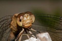 Macro libellule extrême. Yeux. Tête. Images stock
