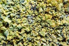 Macro lichen photos libres de droits