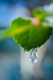 Macro lief with drop. Macro green lief with one drop in the garden Royalty Free Stock Images